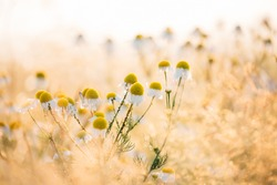 Blooming Wild Flowers Matricaria Chamomilla Or Matricaria Recutita Or Chamomile. Commonly Known As Italian Camomilla, German Chamomile, Hungarian Chamomile, Wild Chamomile In Summer Meadow.