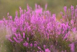 Blooming wild pink violet heather flowers in forest at autumn day. Landscape plant heather, national Scottish flora. Colorful traditional October flower, blossom in the north of Europe, Luneburg Heath