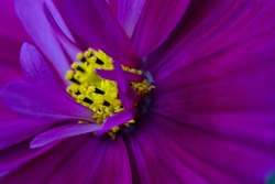 blooming wild purple flower cosmea close-up. wallpaper