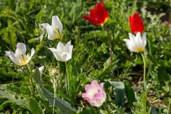 Blooming wild red and white tulips in green grass in Kalmykia