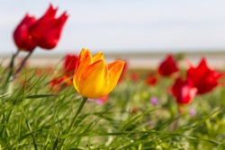 Blooming wild red and yellow tulips in green grass in spring steppe in Kalmykia
