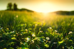 Blooming wild strawberry on the forest meadow at sunset. Macro image, shallow depth of field. Beautiful summer landscape