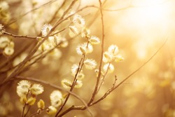 Blooming willow branch in springtime, seasonal sunny easter vintage background with copy space