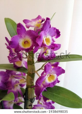 blooming with huge purple orchid flowers  Dendrobium nobile in the room Сток-фото ©
