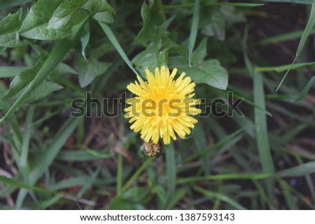 Blooming Yellow Dandelion Flowers In Garden On Spring Time.