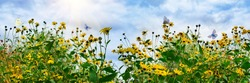 Blooming yellow flowers of the vegetable plant Jerusalem artichoke and a flying butterfly against a blue sky with clouds and the sun .Panoramic view, beautiful flower background