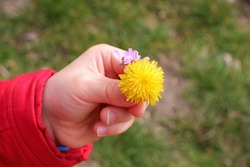 blooming yellow freshman flower in the hand of a little boy in March