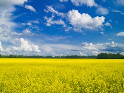 Blooming yellow rapeseed field, forest, blue summer sky with white cumulus clouds, sunlight. Summer landscape. Natural background