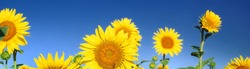 Blooming yellow sunflowers at the green field. Clear blue sky. Idyllic summer landscape. Wildflowers, agriculture, gardening, floristic concepts. Panoramic image, copy space, graphic resources