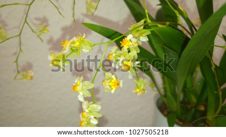 Blooming yellow-white mini orchid hybrid oncidium twinkle with green leaves und healthy bulbs