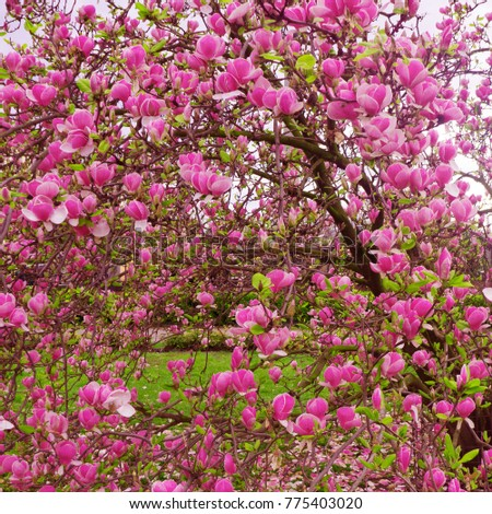 Bloomy magnolia tree with big pink flowers ez canvas bloomy magnolia tree with big pink flowers mightylinksfo