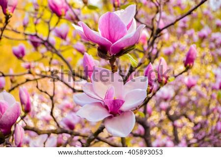 Free photos bloomy magnolia tree with big pink flowers spring is bloomy magnolia tree with big pink flowers spring is hereblooming magnolia in mightylinksfo