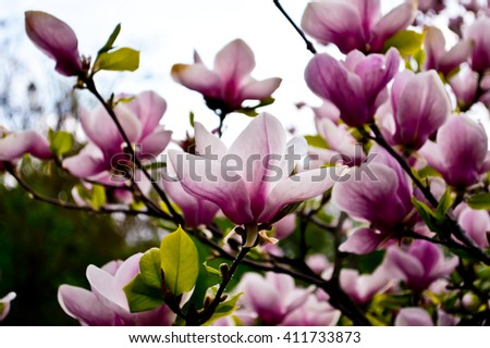 Bloomy magnolia tree with big pink flowers spring is hereblooming bloomy magnolia tree with big pink flowers spring is hereblooming magnolia in mightylinksfo