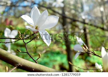 Free Photos Bloomy Magnolia Tree With Big White Flowers Avopix