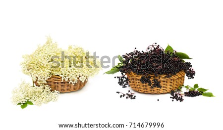 Blossom and fruit black elderberry (Sambucus nigra) in the baskets on a white background. Common names: elder, black elder, European elder and European black elderberry.