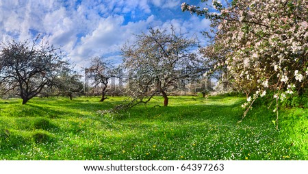 blossom apple trees garden in the Spring