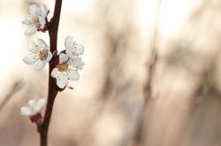 Blossom apricot branch with blur. Focused blossoming tree in springtime.