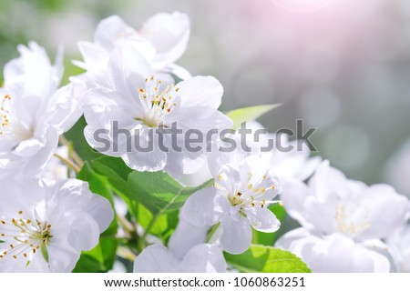 Blossom blooming on trees in springtime. Apple tree flowers blooming. Blossoming apple tree flowers with green leaves. Spring tree blossom flowers with green leaves. Best picture of tree blooming.