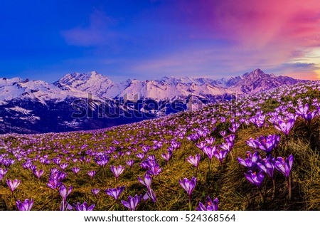 Shutterstock Blossom carpet of violet crocus flowers in the mountains at sunrise.