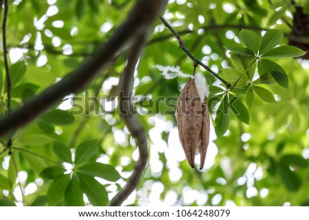 Blossom Ceiba or capoc on the tree, this blossom white silk cotton use for making pillow