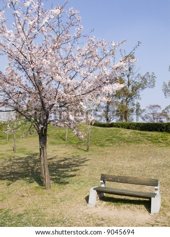 blossom cherry and empty bench in japanese park at sunny weather
