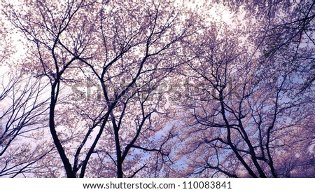 blossom cherry trees over spring sky