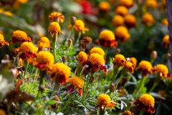 Blossom flowers marigolds on a sunny summer day macro photography. Garden tagetes flowers with burgundy petals in sunlight on an autumn day.