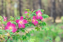 Blossom flowers of prickly wild rose shrub, Dog Rose, in coniferous forest, organic plants in traditional medicine