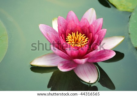 blossom lotus flower in Japanese pond; focus on flower