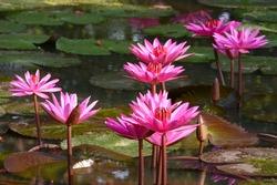 Blossom Lotus flowers at sukhothai, thailand