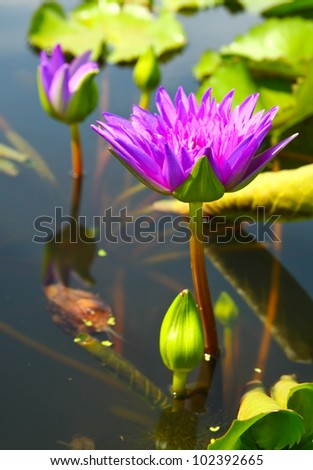 blossom lotus flowers in pond