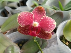 blossom moth orchid for houseplants