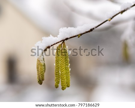 Blossom of a hazel covered with snow in winter, Vienna Austria