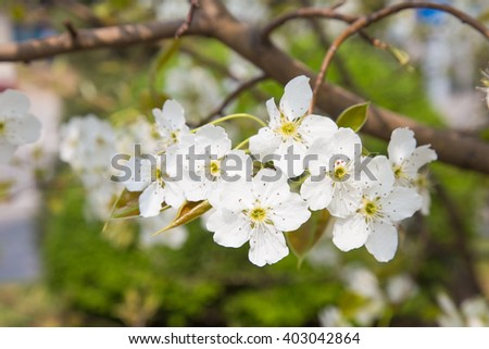 Blossom of fruit trees white flowers pear tree ez canvas blossom of fruit trees white flowers pear tree mightylinksfo