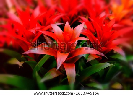 Blossom of Guzmania Bromelia. Sale. Pot plants, indoor plants, tropical plants. Several plants are located in the photograph. Red beautiful blurred background. Use as background.