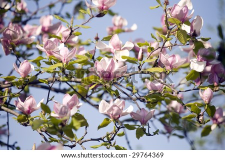 magnolia tree tattoo. magnolia tree tattoo designs.