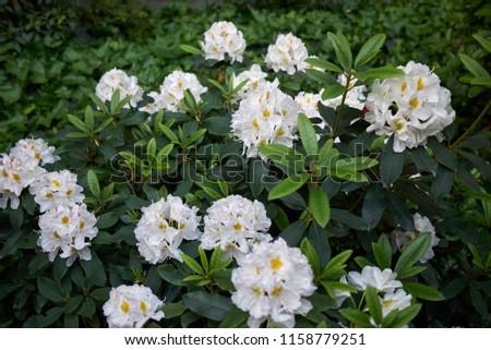blossom of Rhododendron shrub