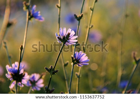 Blossom of the blue cichorium (Cichorium intybus). Blue flowers of chicory on the background of the summer landscape. Healing herbs. Flowers on the blurred background.
