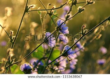 blossom of the blue cichorium ...