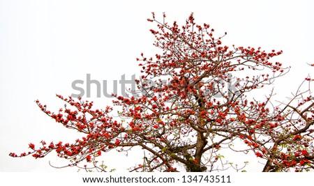 Flower buds of Red Silk Cotton Tree - Latin name is Bombax Ceiba