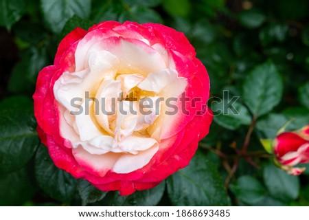 Blossom of white red Hybrid tea nostalgie or double delight florist garden rose close up Photo stock ©