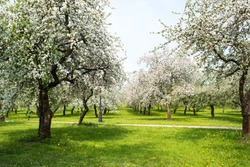 Blossom orchard