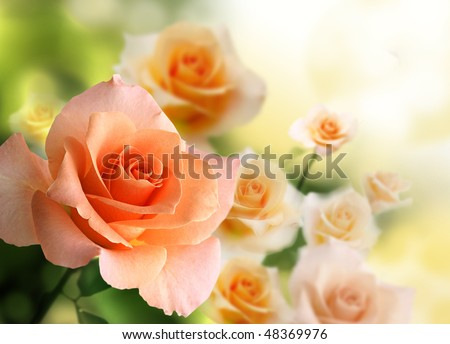 stock photo : blossom pink roses