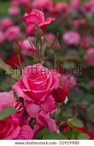 blossom pink roses flower garden