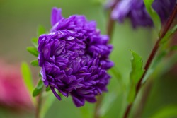 Blossom purple chrysanthemum on a green background in rainy day macro photo. Wet violet garden flower on a summer day closeup garden photography.