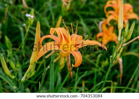 Blossom Season of Daylily on the Hill of East Rift Valley, Taiwan.