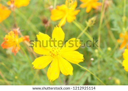 blossom Singapore daisy blooming in the field, the brightly yellow colour of its petals giving sense of liveliness and brightness #1212925114