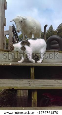 Blossom the lamb & Kitty Kitty #1274791870