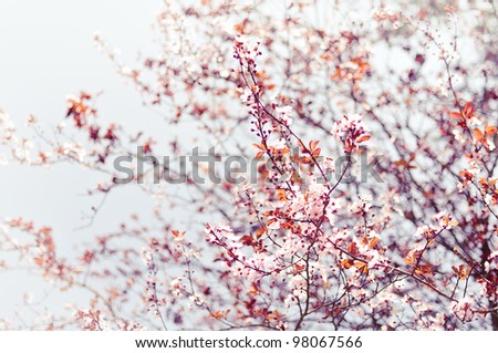 Blossom tree branches with sky at background