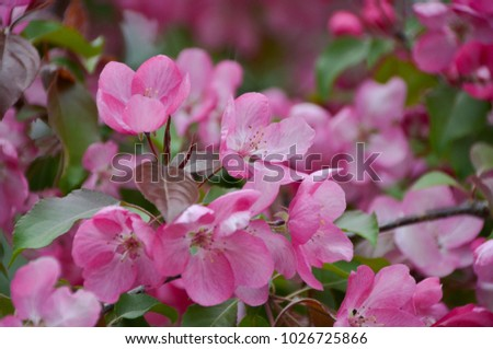 Blossom tree with bright pink flowers in spring garden ez canvas blossom tree with bright pink flowers in spring garden mightylinksfo